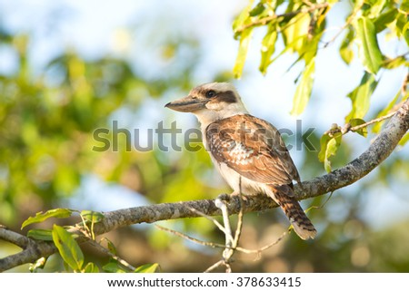 Laughing Kookaburra sitting in a tree, Daintree National Park, Queensland, Australia  - stock photo