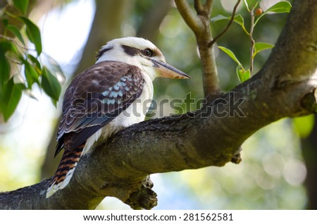 Laughing Kookaburra sitting in a tree, New South Wales, Australia - stock photo