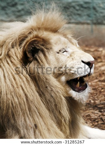 laughing lion - stock photo