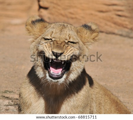 Laughing Lion Cub - stock photo