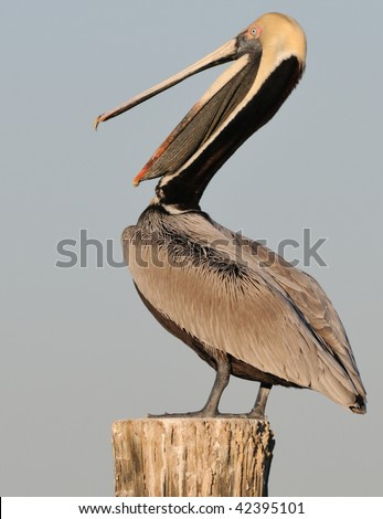 Laughing pelican open mouth - stock photo