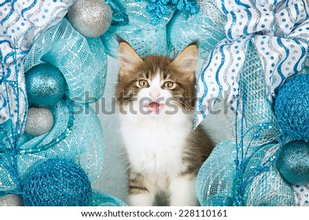 Laughing talking Christmas Maine Coon kitten sitting inside blue and silver Christmas wreath  - stock photo