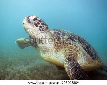 Launching green turtle (Chelonia mydas) - stock photo