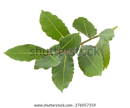 Laurel branch with green leaves isolated on white.