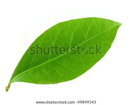 Laurel leaf isolated on white background - stock photo