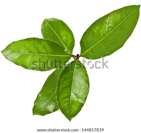 laurel tree branch with green leaves  isolated over white background - stock photo