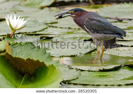 Lava heron caught a fish - stock photo