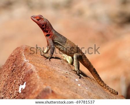 Lava Lizard - Galapagos Islands - stock photo