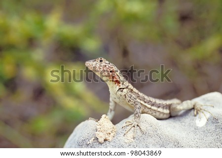 Lava lizard (Tropidurus spp.) on Santa Fe, Galapagos Islands, Ecuador - stock photo