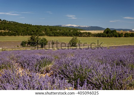 Lavanda fields and Mont Ventoux in background, Provence, France - stock photo