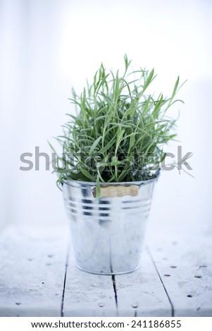 lavander growning background - stock photo