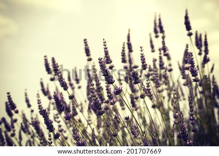 Lavander on the retro background - stock photo