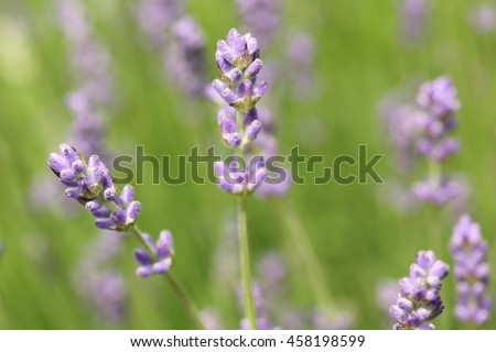 Lavandula angustifolia (lavender most commonly True Lavender or English lavender - stock photo
