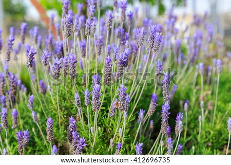 Lavandula dentata in shallow DOF
