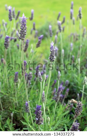 Lavandula dentata (Lavender), known also by Lavandula stoechas. Native to Mediterranean, Atlantic islands and Arabian peninsula. Grown as ornamental plant and its essential oil is used in perfumes. - stock photo