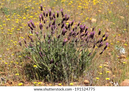 Lavandula pedunculata. Lavender. - stock photo