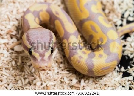 LAVENDER ALBINO ball python (Python regius), Baby snake ball python   - stock photo