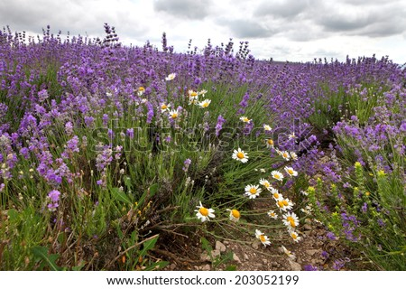 Lavender and daisy flowers - stock photo