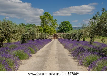 lavender and olive tree in a row, Provence, France - stock photo