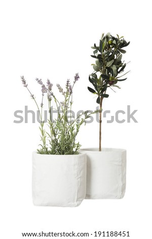 Lavender and Olive tree isolated on white background - stock photo