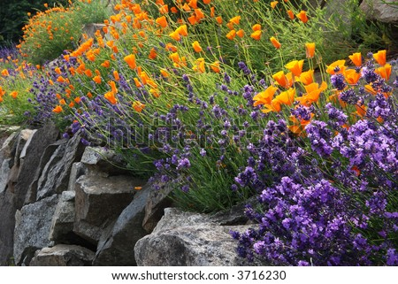 lavender and poppy flowers - stock photo