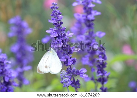 Lavender and Small White