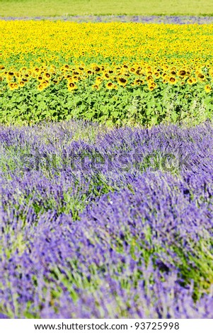 lavender and sunflower fields, Provence, France - stock photo