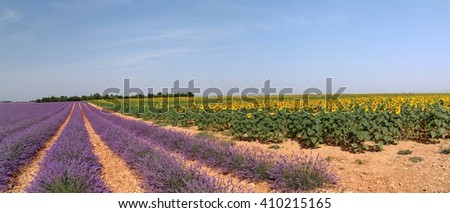 lavender and sunflowers-Plateau Valensole-France