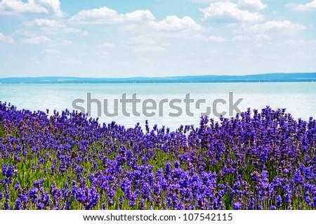 Lavender at Lake Balaton,Hungary - stock photo