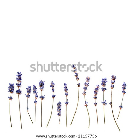 lavender background - stock photo