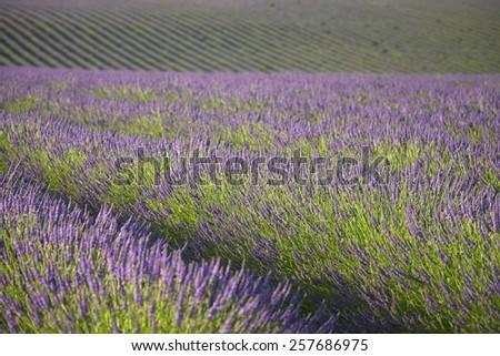 Lavender background - Valensole, Provence, France - stock photo