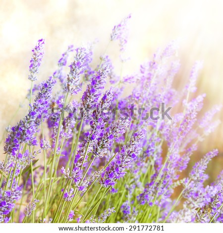 Lavender. Beautiful Lavender Flower Field.