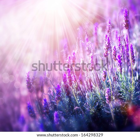 Lavender. Beautiful Lavender Flower Field. Growing and Blooming Lavender outdoors - stock photo