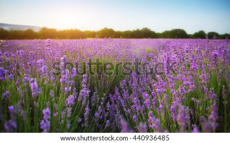 Lavender beautiful meadow. Spring time. Nature composition. - stock photo