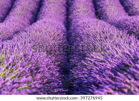 Lavender blossoming lilac flowers endless rows - natural abstract background, image suitable for wallpaper, Provence, France - stock photo