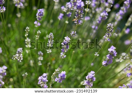 Lavender blossoms in Provence field, South France - stock photo