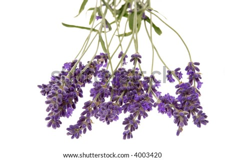 lavender bunch isolated on the white background