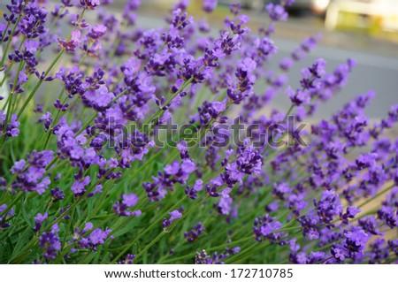 Lavender bush - stock photo
