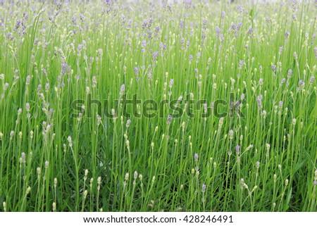 Lavender bushes closeup Bushes  - stock photo