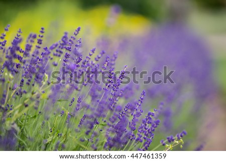 Lavender bushes closeup during the day. Lavender field closeup. Blooming lavender. Sunlight gleaming over purple flowers of lavender. Provence, France. - stock photo