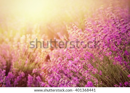 Lavender bushes closeup on sunset. Sunset gleam over purple flowers of lavender. Provence region of france. - stock photo