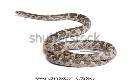 Lavender Corn Snake or Red Rat Snake, Pantherophis guttatus, in front of white background - stock photo