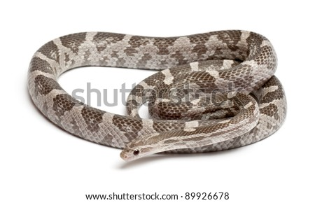 Lavender Corn Snake or Red Rat Snake, Pantherophis guttatus, in front of white background