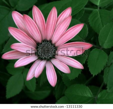 Lavender Daisy - stock photo