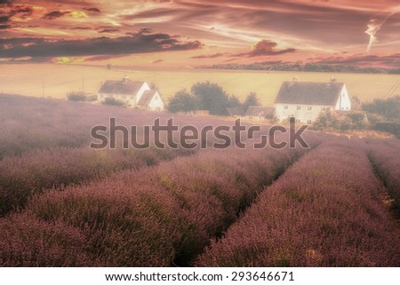 Lavender Farm At Sunset during the summer in the uk