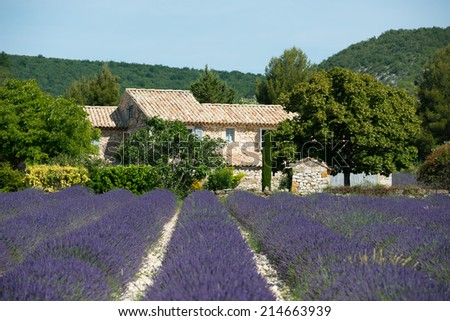 Lavender farm landscape with house and tree - stock photo