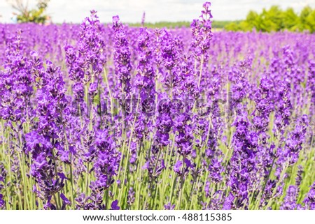 Lavender farm the blooming in summer