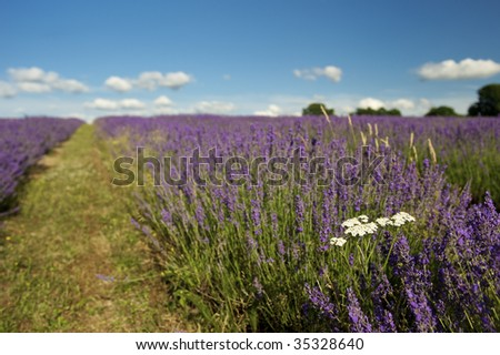 Lavender field and deep blue Summer sky
