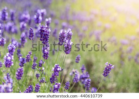 Lavender field and warm sunlight - stock photo