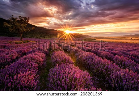 Lavender field at dawn - stock photo